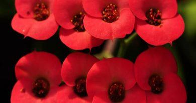 Kako se uzgaja biljka Isusov trn Euphorbia milii