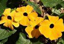 Crna Suzana (Thunbergia alatavas) – štiti od zlih komšija! Ovaj cvet svako treba da ima u svom domu