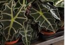 Rebrasta alokazija – Alocasia x amazonica