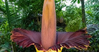 Cvet Leš najveći na svetu – Amorphophallus titanum – Titan Arum