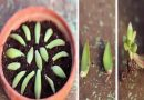 Evo kako razmnožiti sukulente