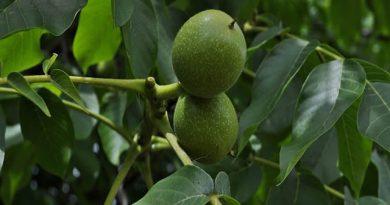 Orahovača – recept za liker od oraha koji leči štitnu žlezdu, želudac i još mnogo bolesti