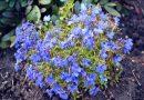 Balkonsko i baštensko cveće – Lobelija (Lobelia erinus)