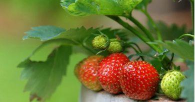 Gajenje jagode na balkonu i terasi – jagode mesečarke