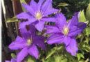 Klematis – Saveti za uzgoj prelepe puzavice (orezivanje, nega i održavanje)